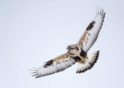 James R. Page - Rough Legged Hawk